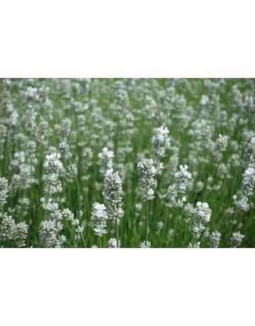 Lavendel 'Edelweiß'