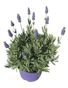 Lavandula angustifolia 'Aromatico'