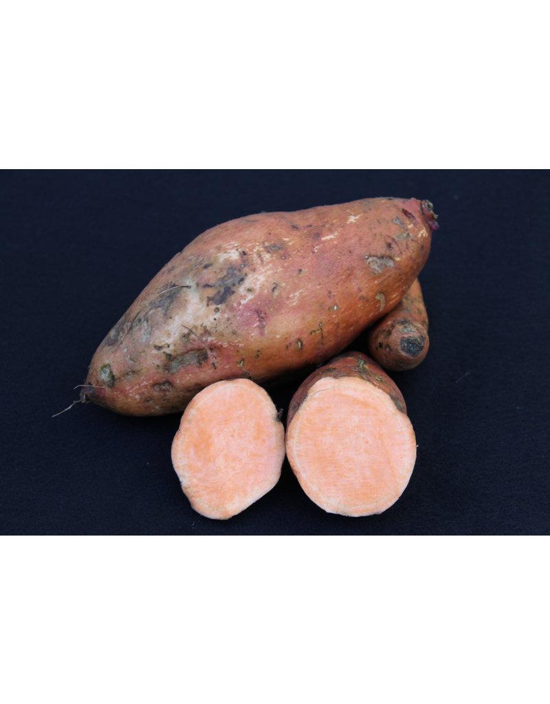 Ipomoea batatas `Beauregard´