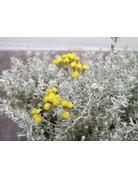 Helichrysum italicum nanum