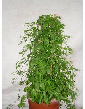 Jiaogulan, Pflanze des ewigen Lebens