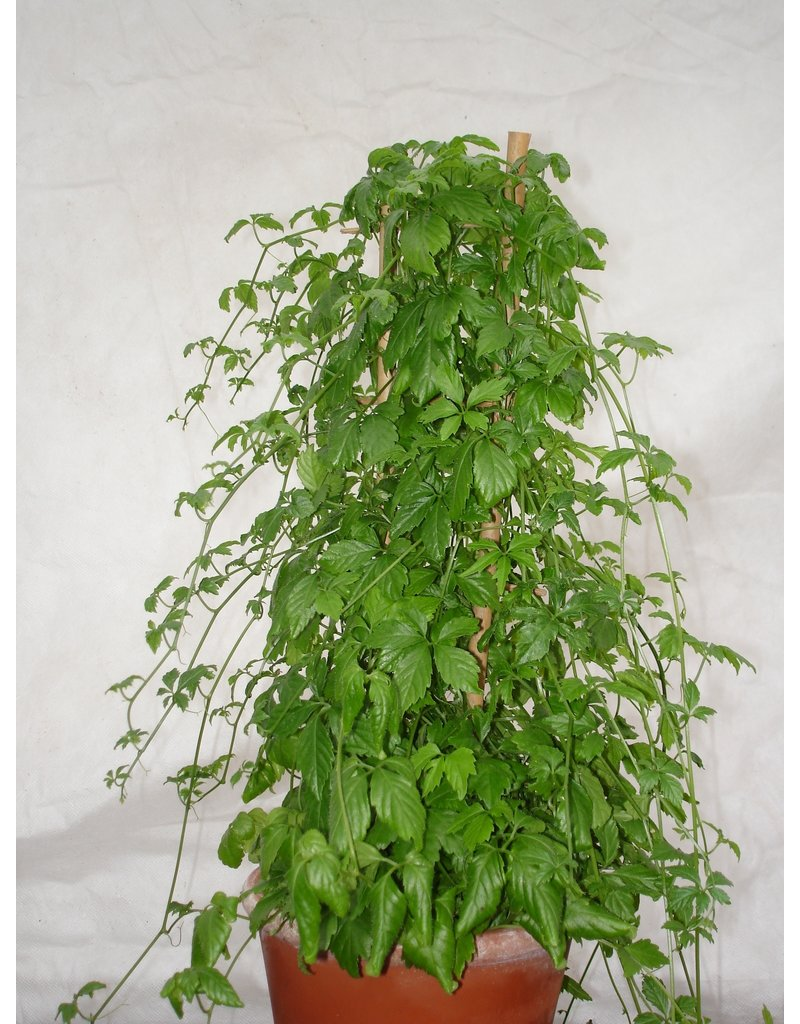 Gymnostemma pentaphyllum