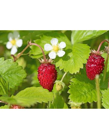 Rote Monats-Erdbeere