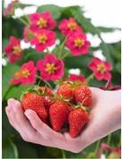 Erdbeere 'Toscana®' - Fragaria ananassa