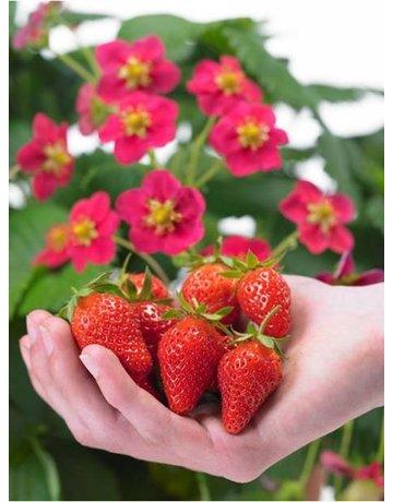 Erdbeere 'Toscana®'