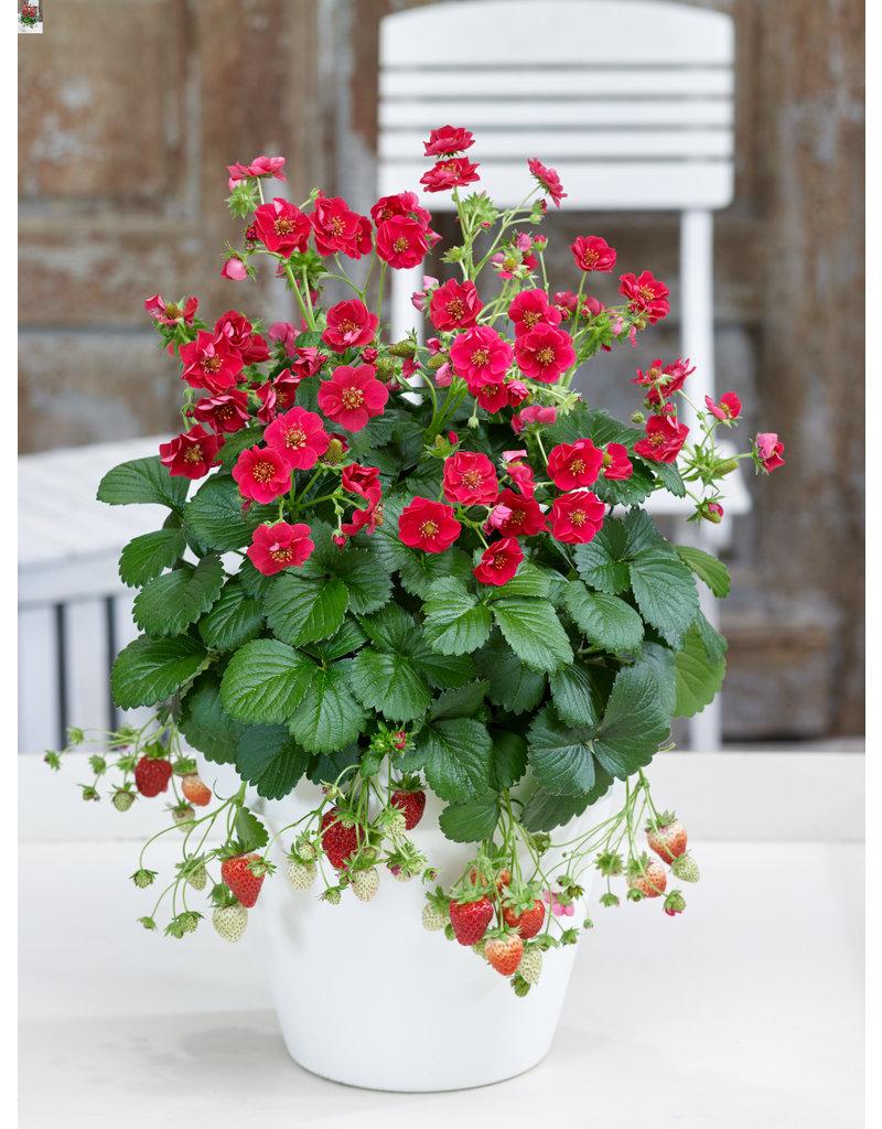 Rosen-Erdbeere 'Summer Breeze Rose' - Fragaria ananassa