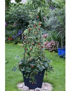 Fragaria ananassa ´Hummi´