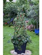 Klettererdbeere 'Hummi®' - Fragaria ananassa