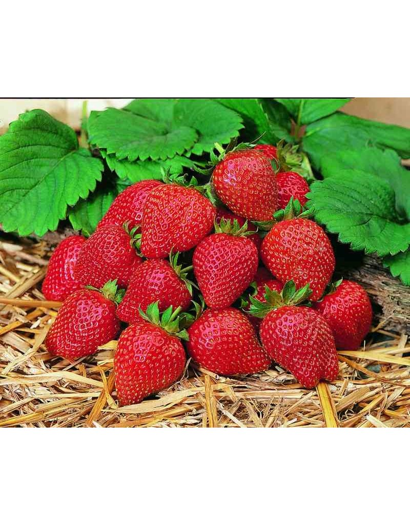 Erdbeere 'Elan' - Fragaria ananassa