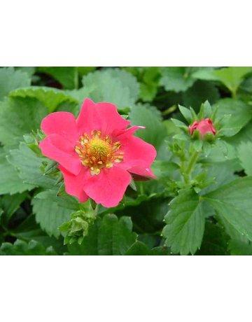 Erdbeere 'Camara'