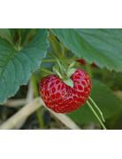 Gourmet-Erdbeere 'Hummi® Neue Mieze' - Fragaria ananassa
