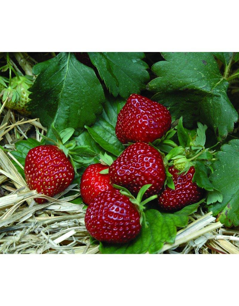 Gourmet-Erdbeere 'Hummi®-Praline' - Fragaria ananassa