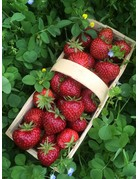 Gourmet-Erdbeere 'Hummi®-Herzle' - Fragaria ananassa