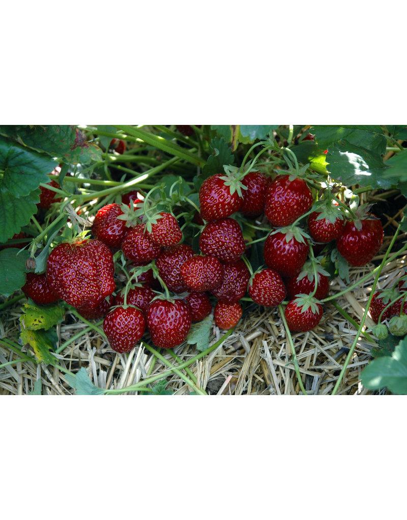 Gourmet-Erdbeere 'Hummi®-Aroma' - Fragaria ananassa