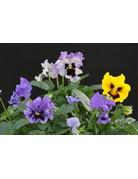 Viola sp. Tasty