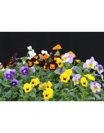 Hornveilchen essbare Blüten