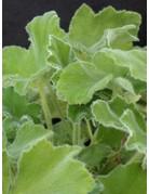 Pelargonium tomentosum ´Minze´