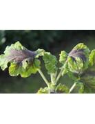 Pelargonium tomentosum 'Chocolate-Peppermint'
