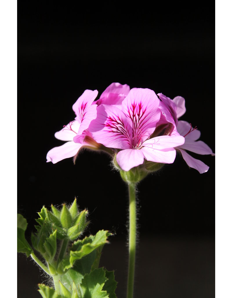 Pelargonium sp. 'Torento'