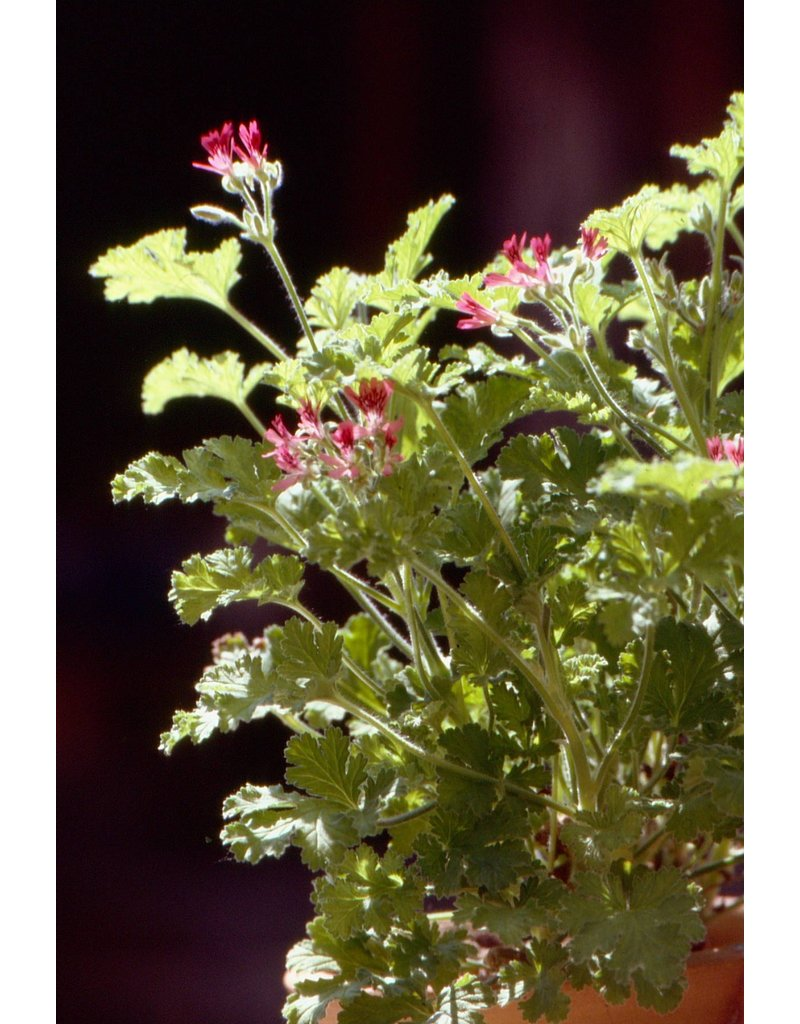 Pelargonium hybr. 'Concolor Lace'