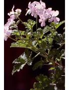 Pelargonium hybr. 'Clorinda'