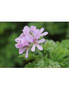 Pelargonium graveolens roseum ´Rosat´