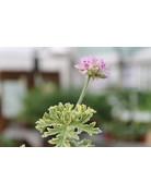 Pelargonium graveolens ´Lady Plymouth´