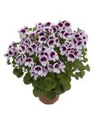 Pelargonium grandiflorum ´Angel Lizzy´