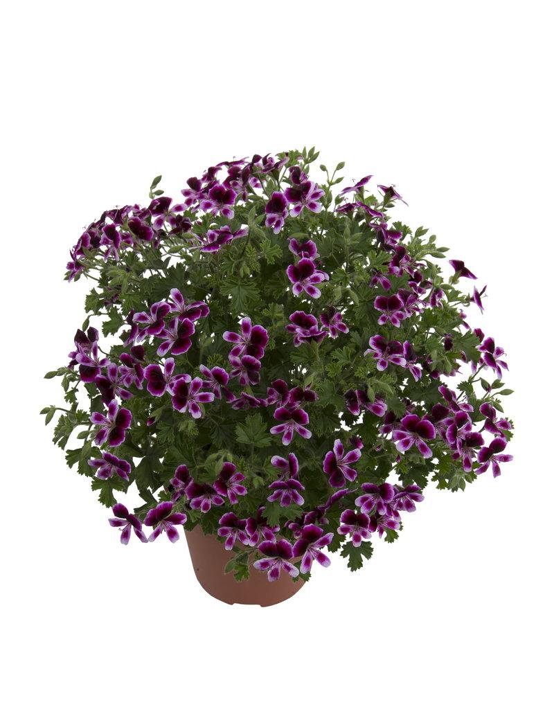 Pelargonium grandiflorum ´Angel Eva´