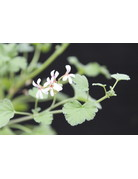 Pelargonium fragrans 'Fruity'