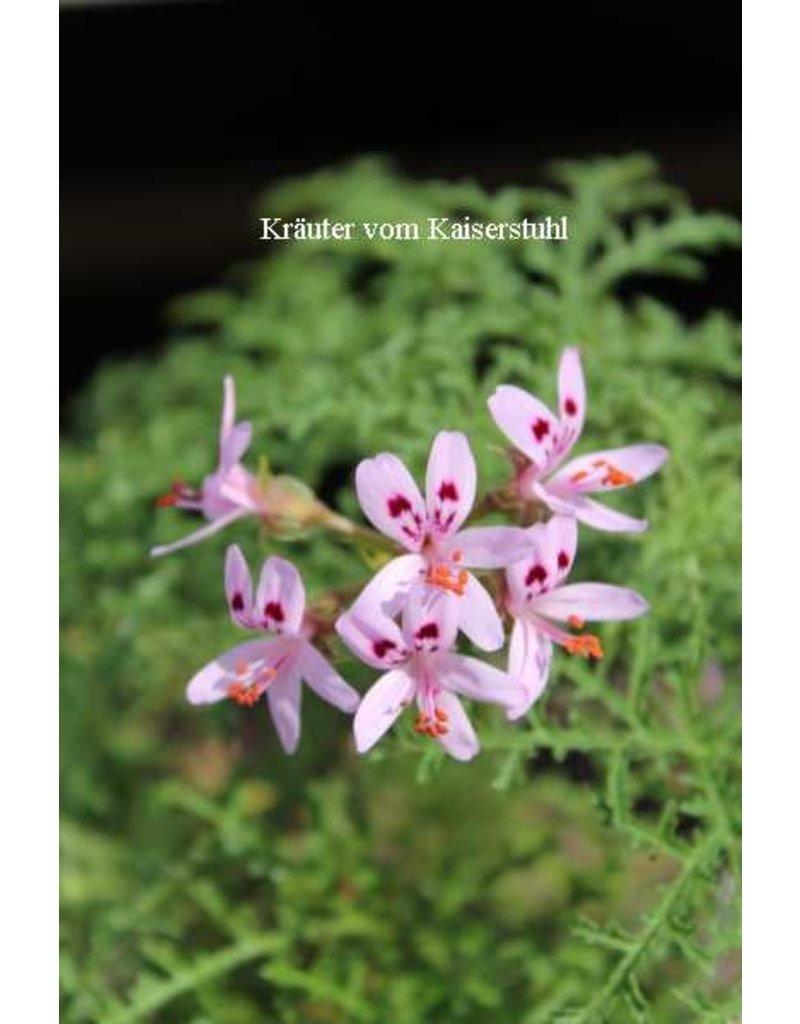 Pelargonium filicifolium