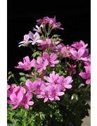 Pelargonium crispum ´Princeanum´