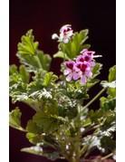 Pelargonium crispum 'Orange Fizz'