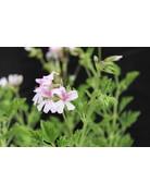 Pelargonium crispum 'Frensham'