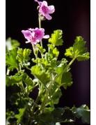 Pelargonium crispum 'Citriodorum'