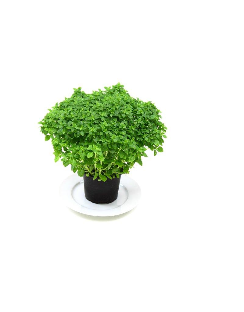 Kleinblättriges Basilikum (Ocimum basilicum ´Nanum´)