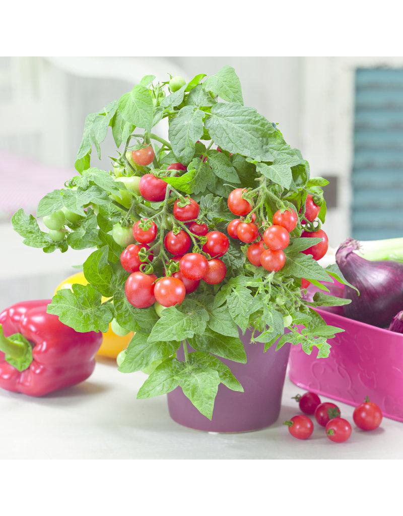 Zwerg-Tomate 'Verino Mini' - Lycopersicon esculentum