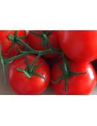 Strauch-Tomate - Lycopersicon esculentum