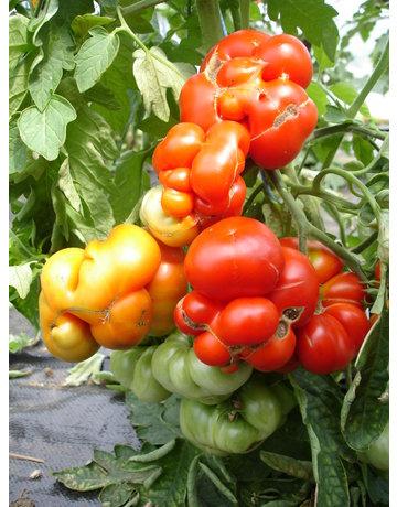 Reise-Tomate