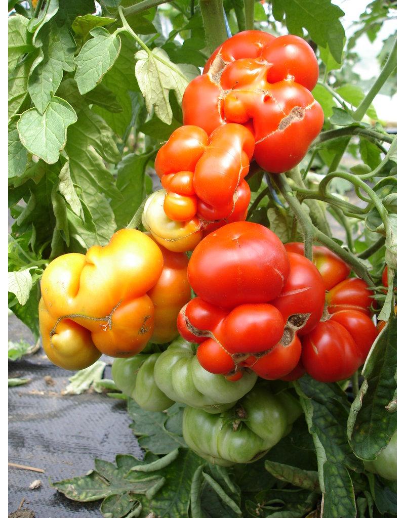 Reise-Tomate - Lycopersicon esculentum