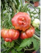 Fleisch-Tomate 'Purpurkalebasse' - Lycopersicon esculentum