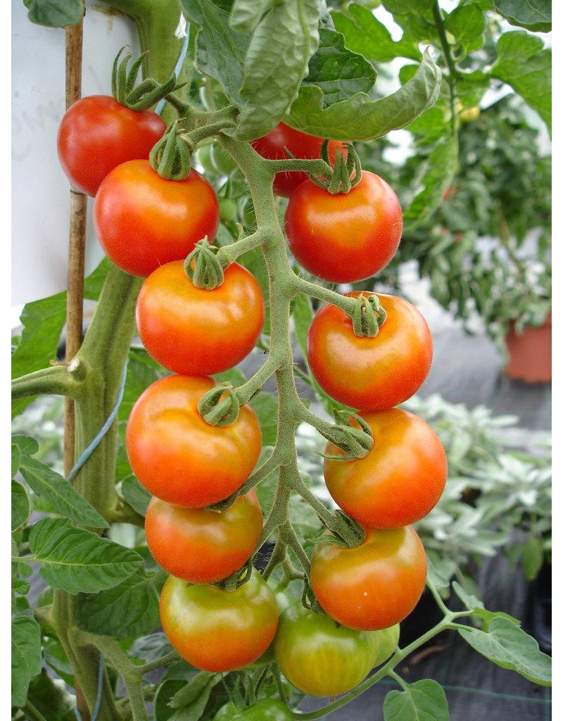 Mexikanische Honig-Tomate - Lycopersicon esculentum