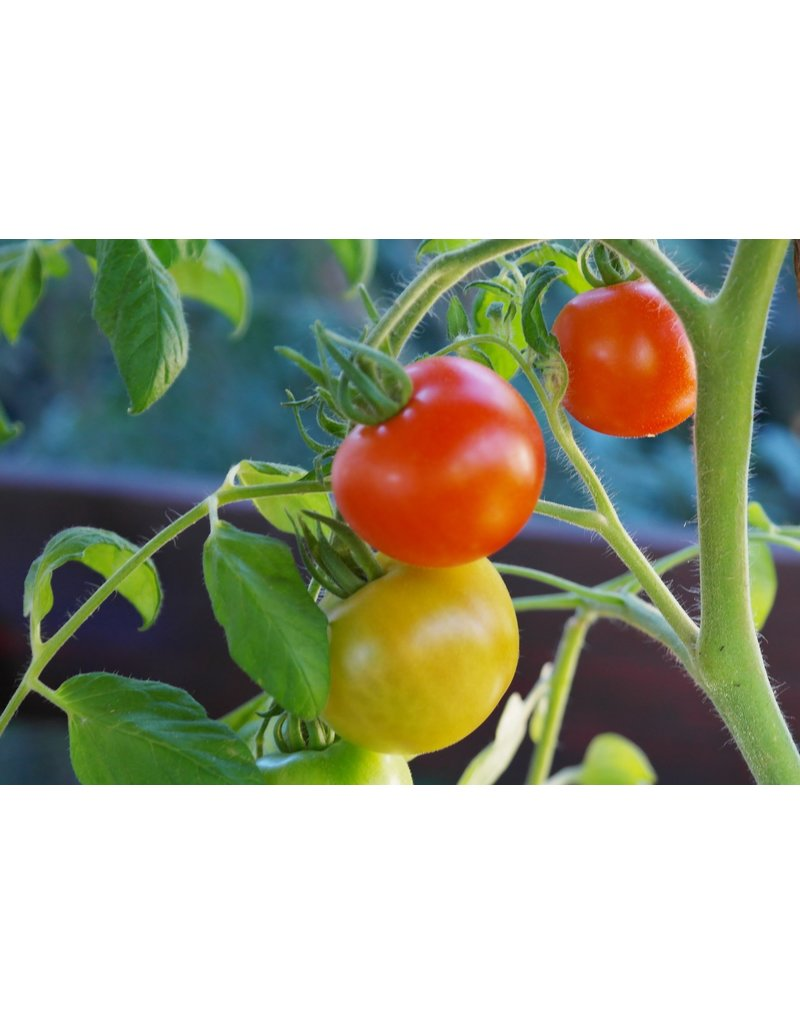 Runde Tomate 'Hildares' - Lycopersicon esculentum