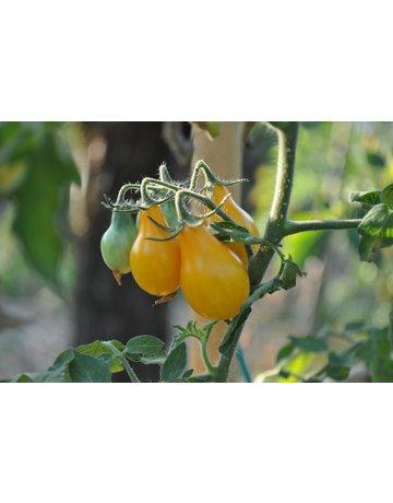 Gelbe Birnen-Tomate