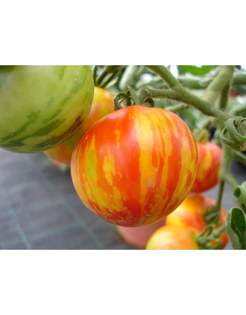 Tomate 'Tigerella' - Lycopersicon esculentum