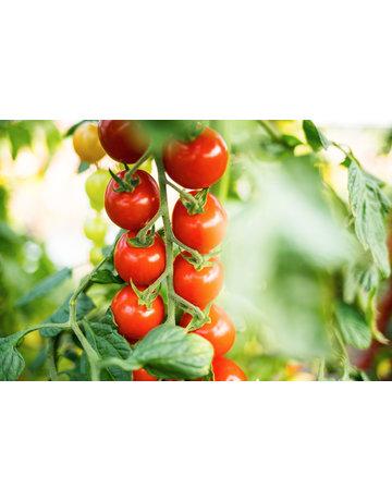 Cherrytomate veredelt ´Solena Red´