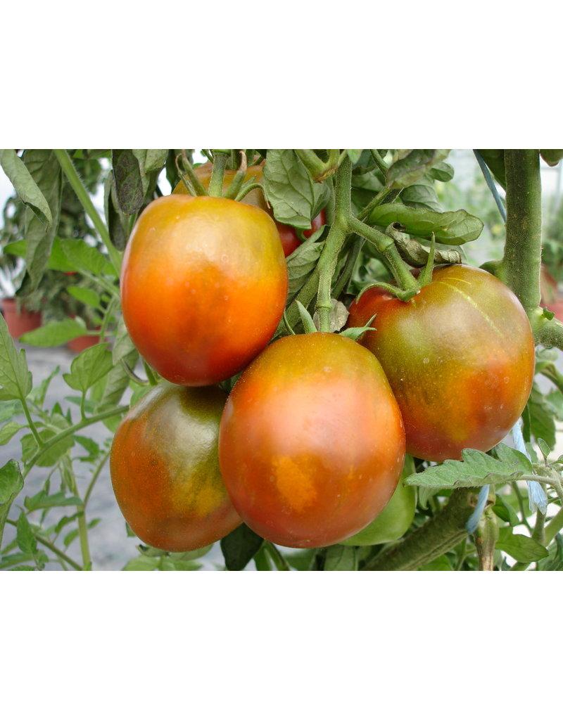 Fleisch-Tomate 'Schwarze Russische' - Lycopersicon esculentum