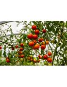 Johannisbeer-Tomate 'Rote Murmel' - Lycopersicon esculentum