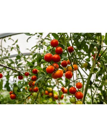 Johannisbeer-Tomate ´Rote Murmel´
