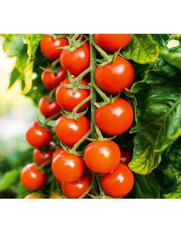 Cherry-Tomate veredelt 'Sanvitos´